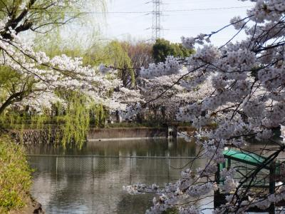 駅前公園池の上の桜