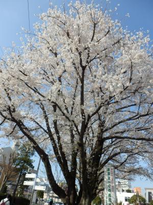 駅前ロータリーの桜