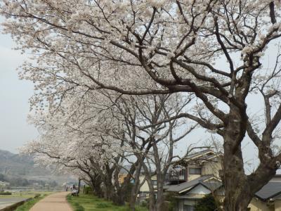 河原の土手に咲く桜