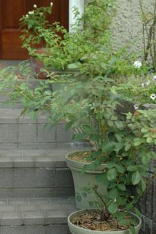 roses2011816-1.jpg
