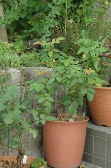 roses2011816-3.jpg