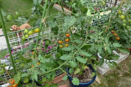 鉢植えプチトマト