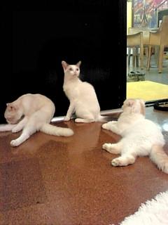 東京猫カフェ