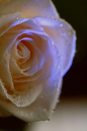 薔薇の涙200