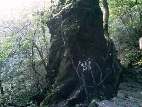 20120817_奉行杉-001