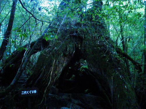 20120817_二代くぐり杉-002