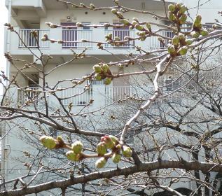 2012.03.26  神田川 桜