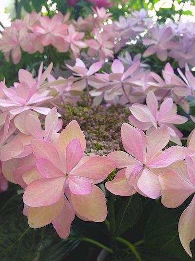 429紫陽花