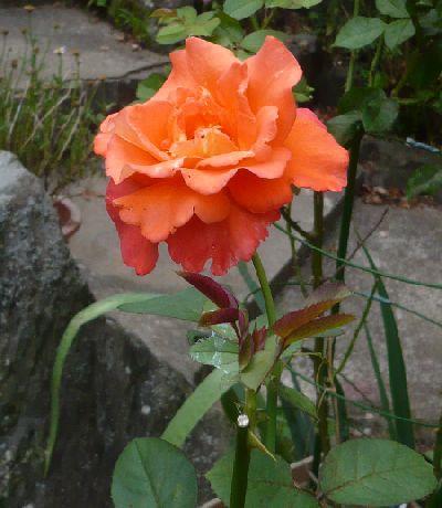 ケーリーグラント 開花