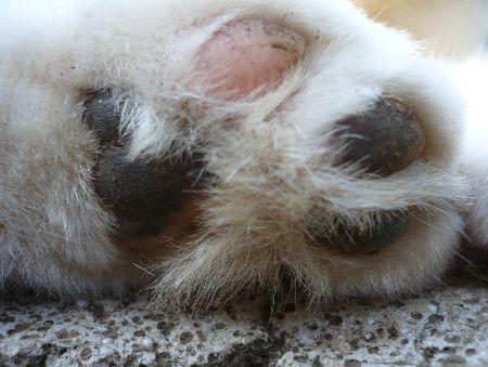 猫のりいのすけの足