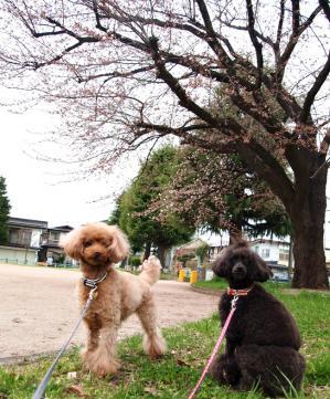ベルユメ 桜の木の下で
