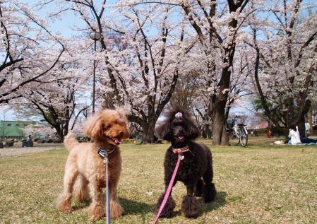 霞城公園でお花見