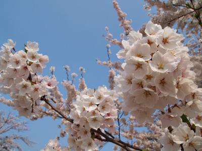 桜満開でーす♪