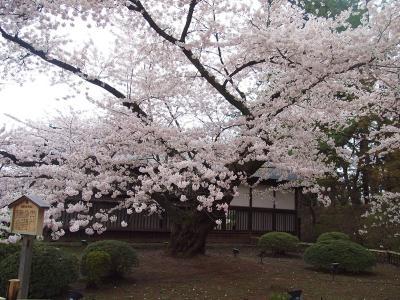 日本最古の ソメイヨシノ