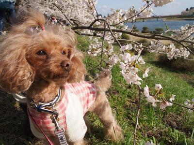ベルちゃんと桜