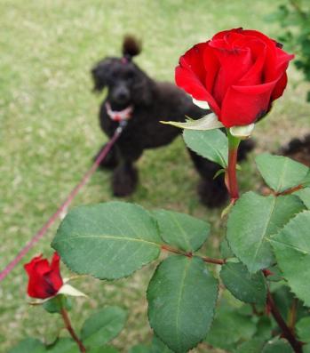 薔薇とゆんちゃん♪