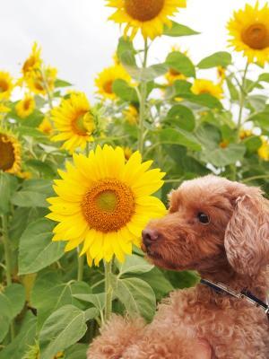 向日葵と ベル