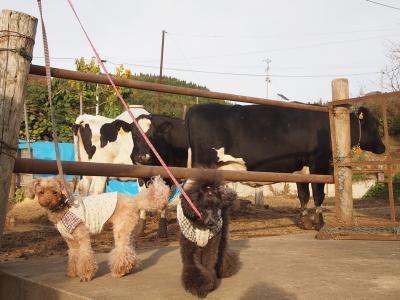 牛さん 大きいねー