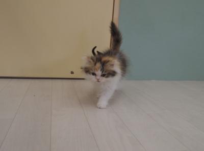 ねこコレ 子猫