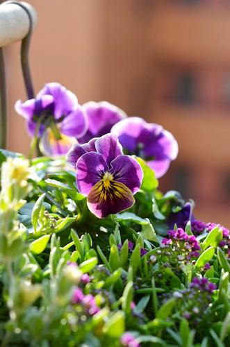 ビオラとアリッサムの寄せ植え20120210