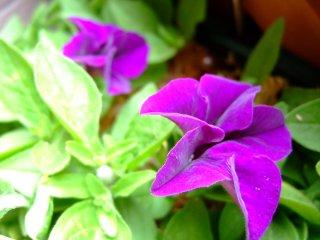 サフィニア開花
