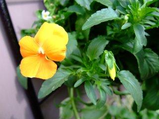 ビオラ花とつぼみ
