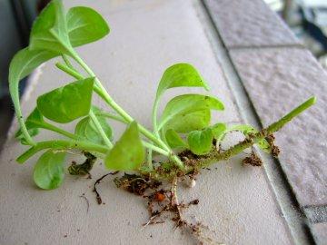 茎から根が生えたサフィニア