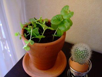 リシマキア挿し芽