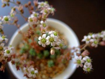 姫星美人の花