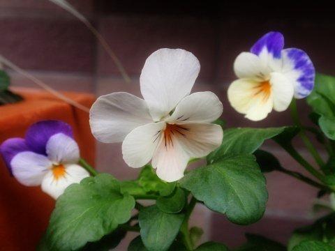 ペニー ピーチジャンプアップ3色の花.jpg