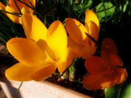 クロッカスの花4.jpg