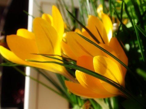 クロッカスの花3.jpg