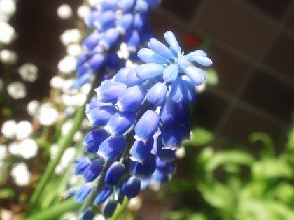 ムスカリの花2.jpg