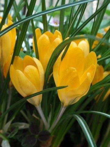 クロッカスの花7.jpg