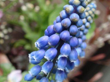 ムスカリの花4.jpg