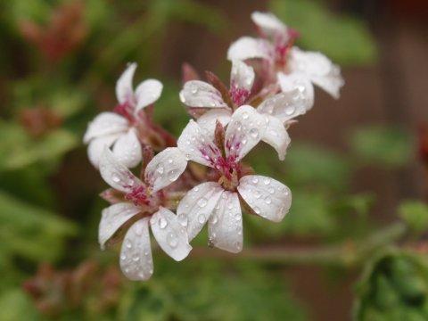 斑入りナツメグゼラニウムの花3.jpg