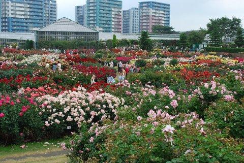 京成バラ園2.jpg