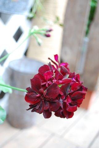 トムキャットの花6.jpg