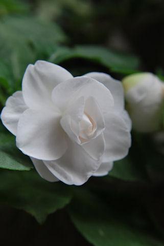 八重咲きインパチェンス シルエット3.jpg