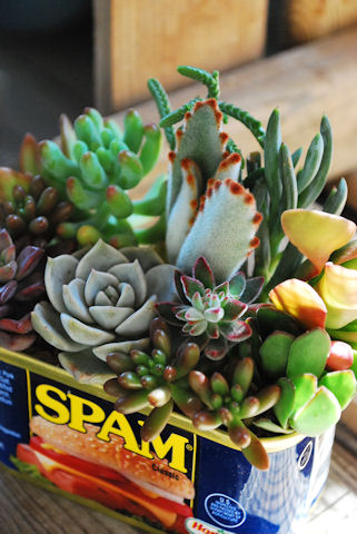 スパム缶ショートの寄せ植え20091120_03.jpg
