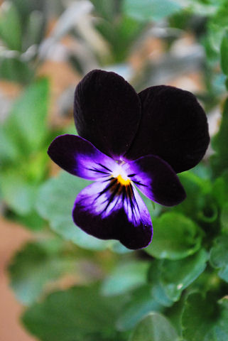ビオラ ブラックオパール20091202.jpg