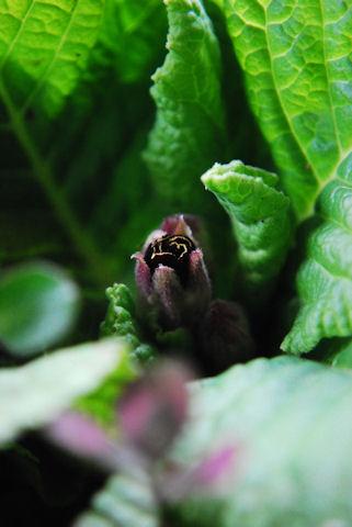 プリムラポリアンサ ビクトリアナ寄せ植え20091214_02.jpg