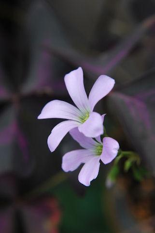 オキザリス紫の舞20090926.jpg