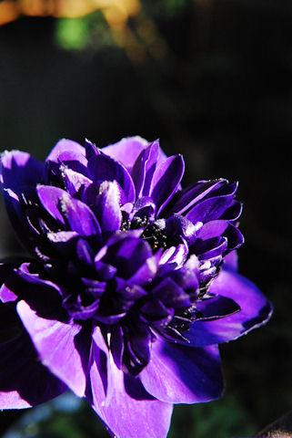 アネモネオーロラ20100110_02.jpg
