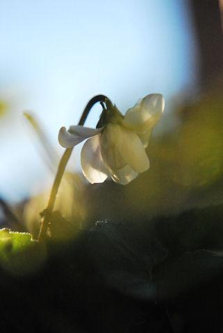 八重咲きニオイスミレ20100119.jpg