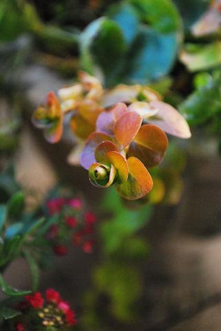 リシマキア ヌンムラリア オーレア20100119.jpg