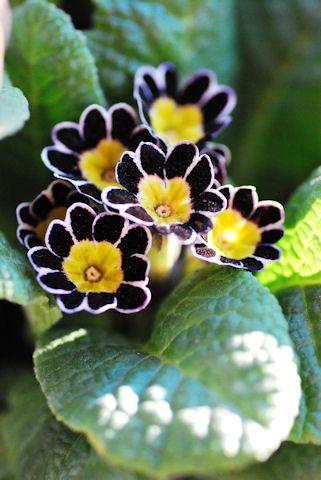 プリムラ ビクトリアナ シルバーレース20100126.jpg
