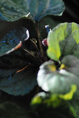 黒葉ビオララブラドリカ20100126_02.jpg