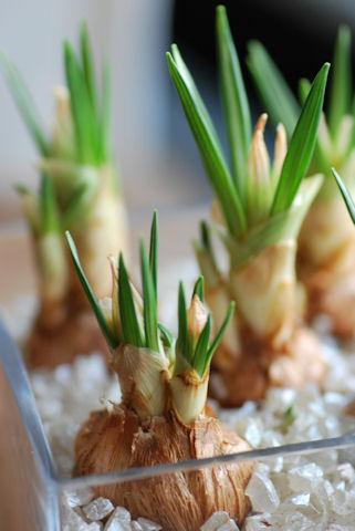 水耕栽培のクロッカス20100131.jpg
