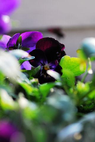 ビオラ ブラックオパール20100201.jpg